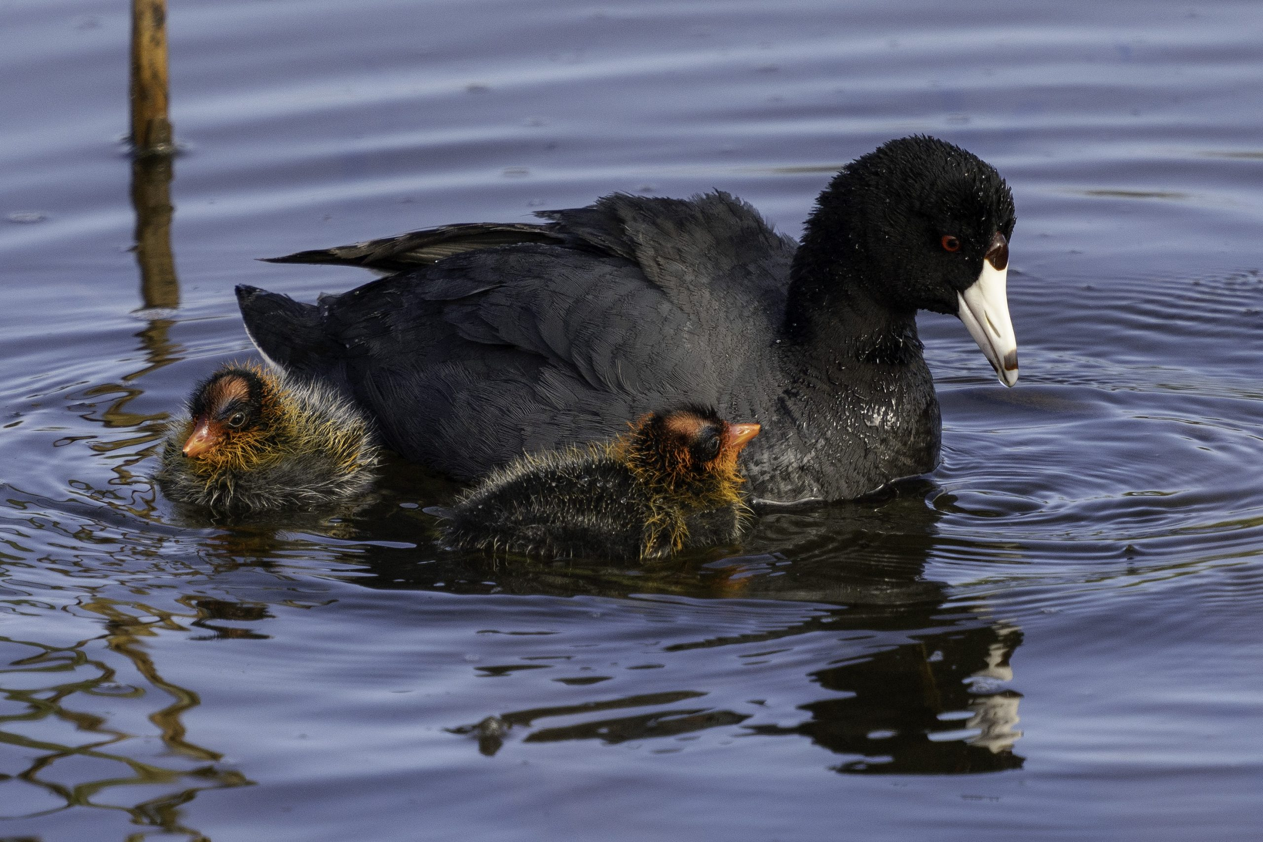 Ripples from the Dunes: American Coot